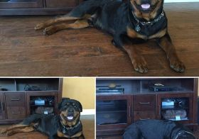 H posing for auntie. Then passing out afterwards.  #rottweiler #dogsofinstagram #dogaunt #latergram [instagram]