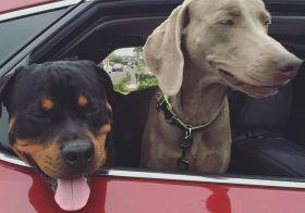 Bye pups! Be good at the vet! Auntie loves you.  #dogsofinstagram #rottweiler #weimaraner [instagram]