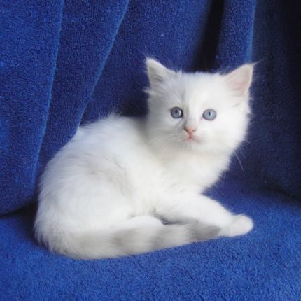 Cute Blueberry Wallpaper Ragdoll Cats And Kittens Breeding The Highest Quality