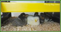Which heat lamp will work best for your chicks?