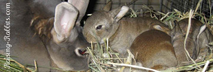 Feeding Baby Rabbits Baby rabbit food and care, for orphan bunnies