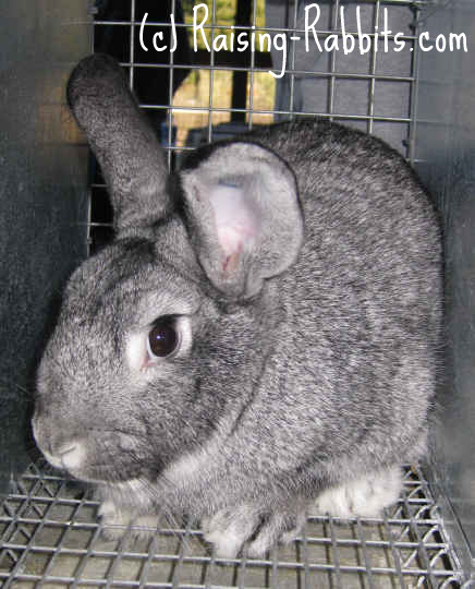 Chinchilla Rabbits Learn about all 4 chinchilla breeds of rabbits