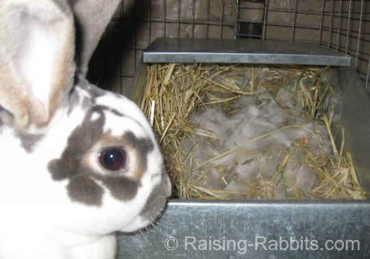 Rabbits Giving Birth Discover your brand-new litter of baby rabbits