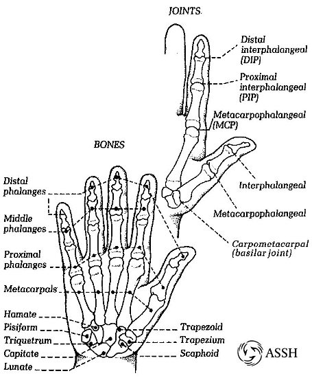 joints bones diagram