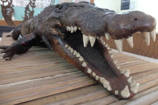 Buaya Tete di Museum Siwalima Ambon (pic: Afif/DetikTravel)