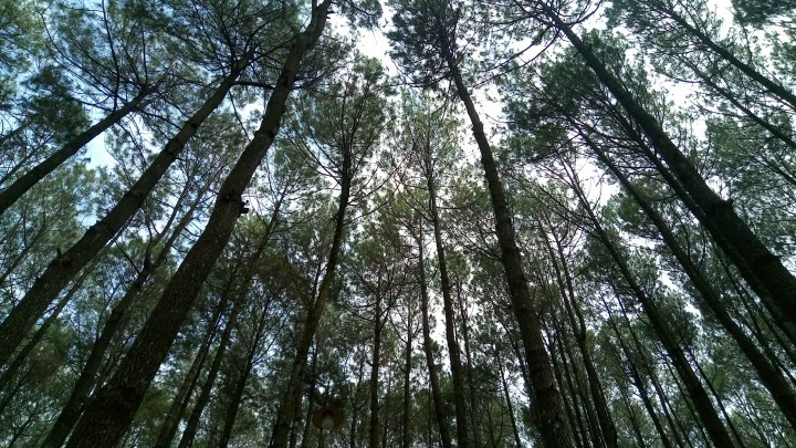 pine-forest