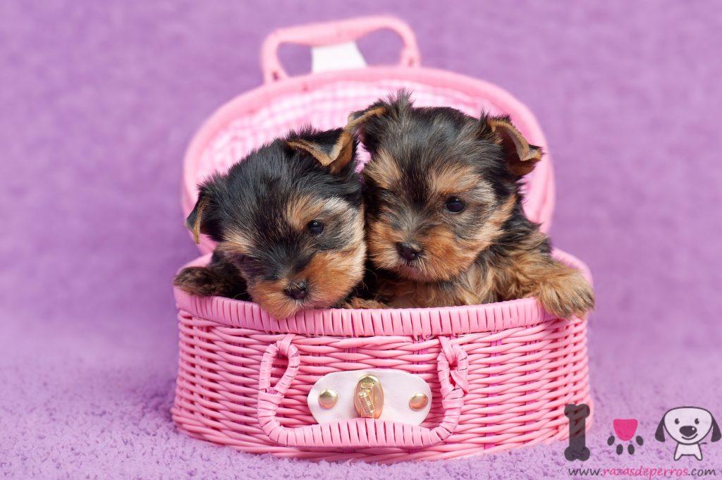 Cute Yorkie Wallpaper 10 Cachorros Preciosos Y Adorables Razas De Perros