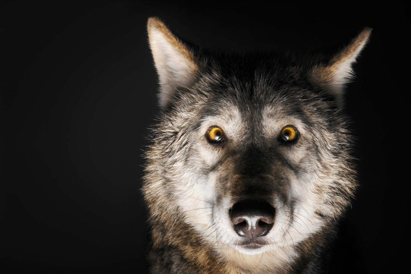 Large Of Female Wolf Names
