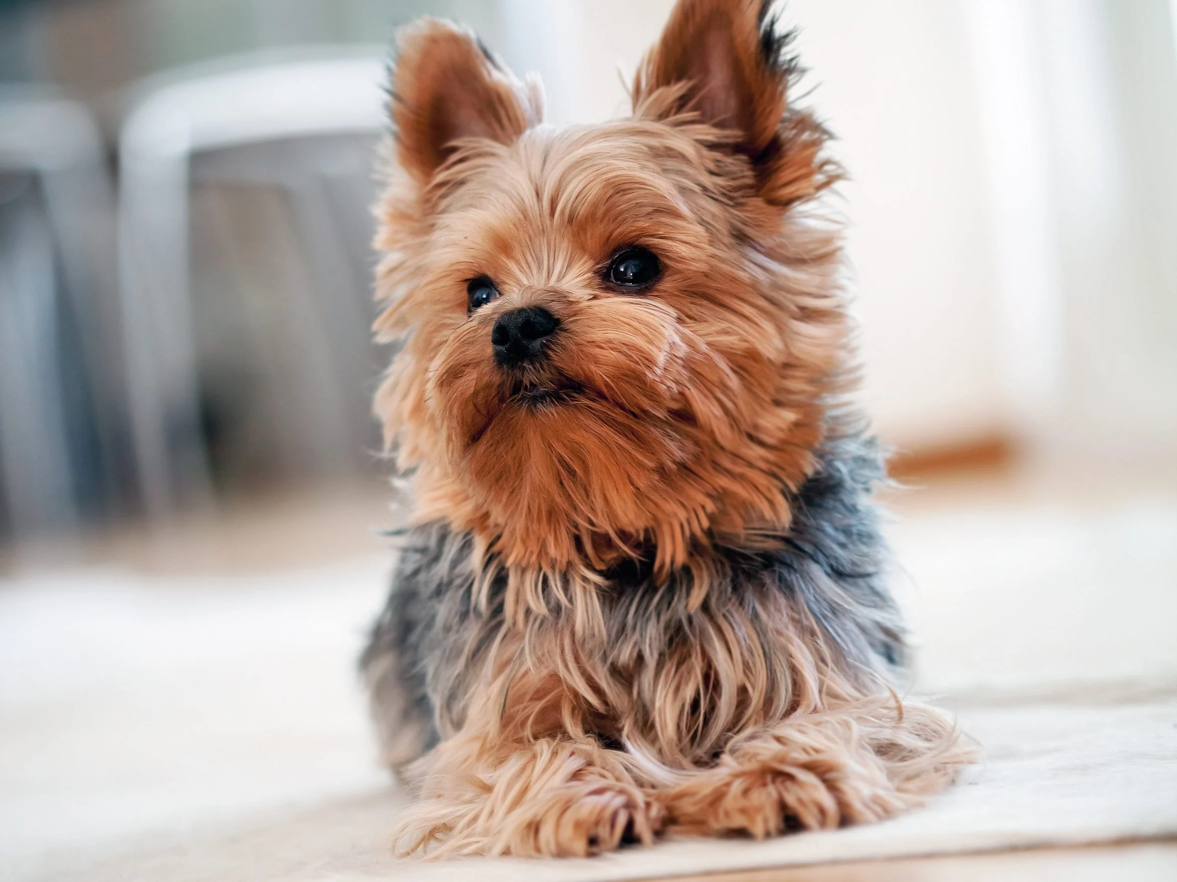 Upscale Apartments Digest Big Dogs Time Owners Dogs Apartment Yorkshire Terrier Dogs Time Owners India bark post Best Dogs For First Time Owners