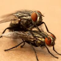 Gaining Ground: Managing On-Farm Fly Populations