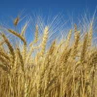 First Resistant-to-Fusarium Wheat Variety Available for Farmers This Fall