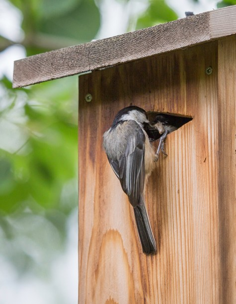 Black-capped chickadee feeding his mate