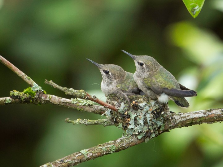 Anna's hummingbird babies, around Day 23