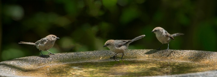 Bushtits at gradually sloping birdbath