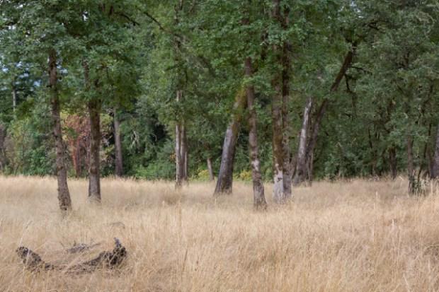 Oregon oak restored grassland