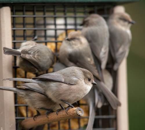 Bushtits awaiting their turn at the suet feeder