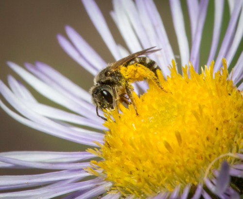 Small female mining bee (Andrea sp.) gathers pollen for her young on showy fleabane (Erigeron specious).