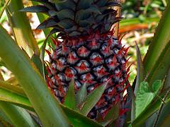 pineapple Ramesh NG