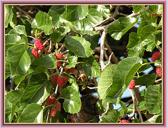 mulberry leaves lowers LDL