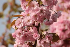 ornamental-cherry-3350554_1280