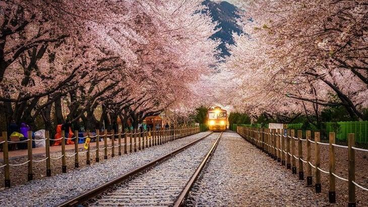 Tunel wykonany z drzewa różowy Jinhae Station w Korei Południowej