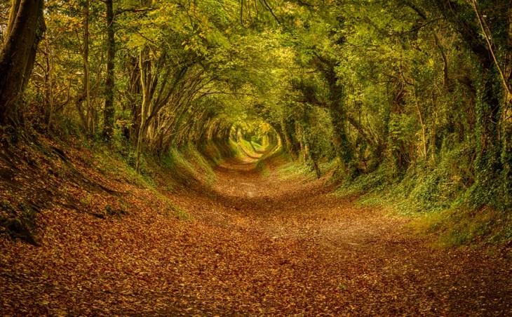 Tunel drzew w południowej Anglii