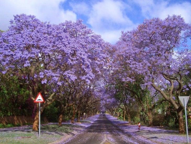 Jacarandas chodzić w RPA