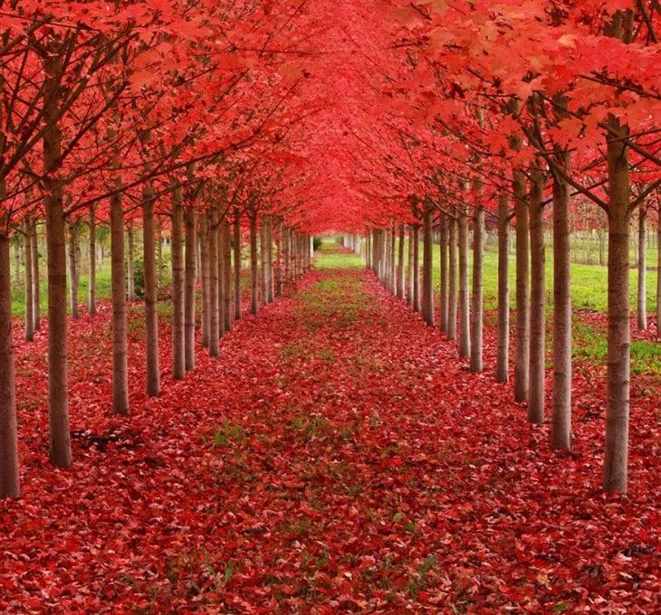 Tunel drzewa klon Oregon Stany Zjednoczone