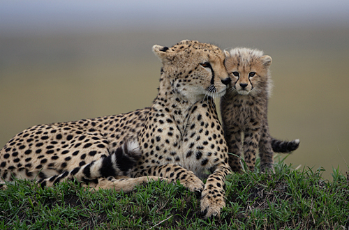 Cute Baby Cheetah Cubs Wallpaper Fotografias De Animales Con Sus Mini Me S Todos Son