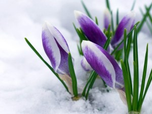 purple-flowers-in-snow