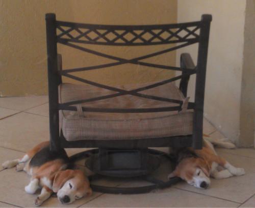 two beagles RedOstelinda.com