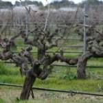 Old vines!