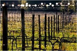 Ken Forrester Vines