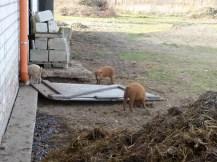 Wollschweine 2