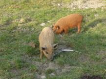 Kleine Wollschweine