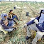 La falta de financiamiento y la poca disponibilidad de agroquímicos mermó entre 40% y 50% la producción de cebolla, tomate y pimentón.