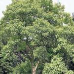 Una de las características y cualidades del árbol Paulownia es su rápido crecimiento. Hasta un metro al mes en su primer año.
