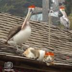 pelicano-gato