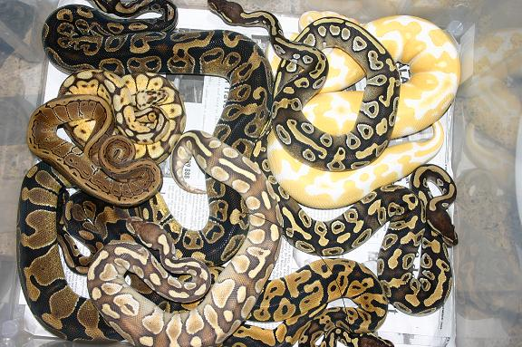 The Yellow Wallpaper Quotes Enclosure The Ultimate Guide To Ball Python Care Reptifiles