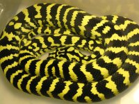 Jungle Carpet Python Facts and Pictures | Reptile Fact