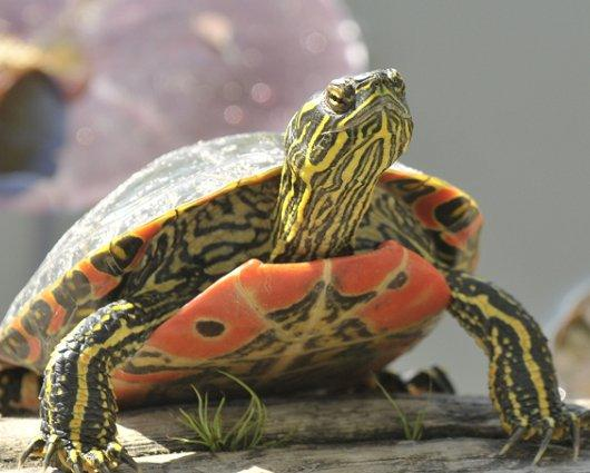 American Paint And Wallpaper Fall River Painted Turtle Facts And Pictures Reptile Fact