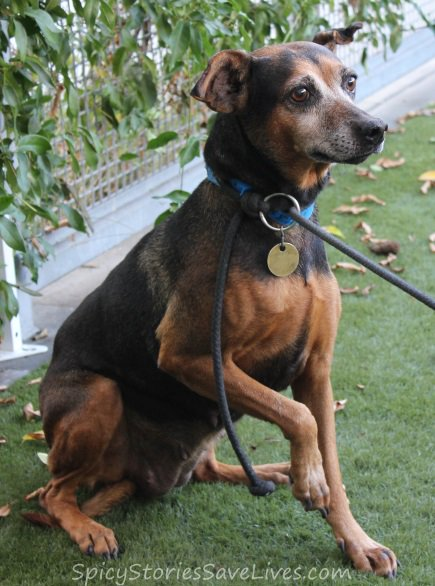 Spicy Saves: Terrified mom and puppy from Los Angeles hoarder