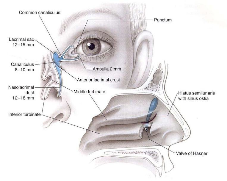 2 Normal anatomy of lacrimal excretory system (measurements are for