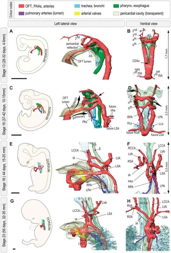 Morphological overview of the developing human pharyngeal arch