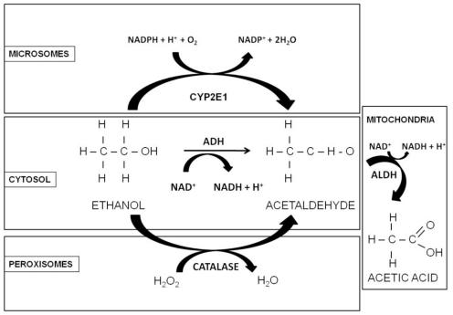 oxidative damage diagram