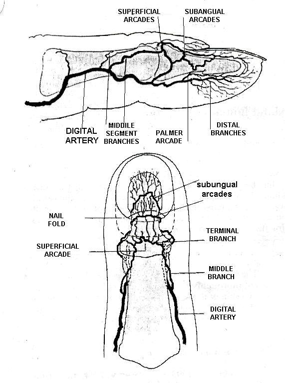 diagram of fingertips