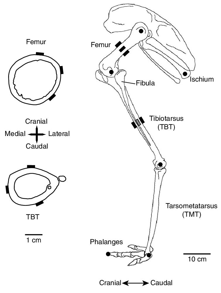 full femur diagram