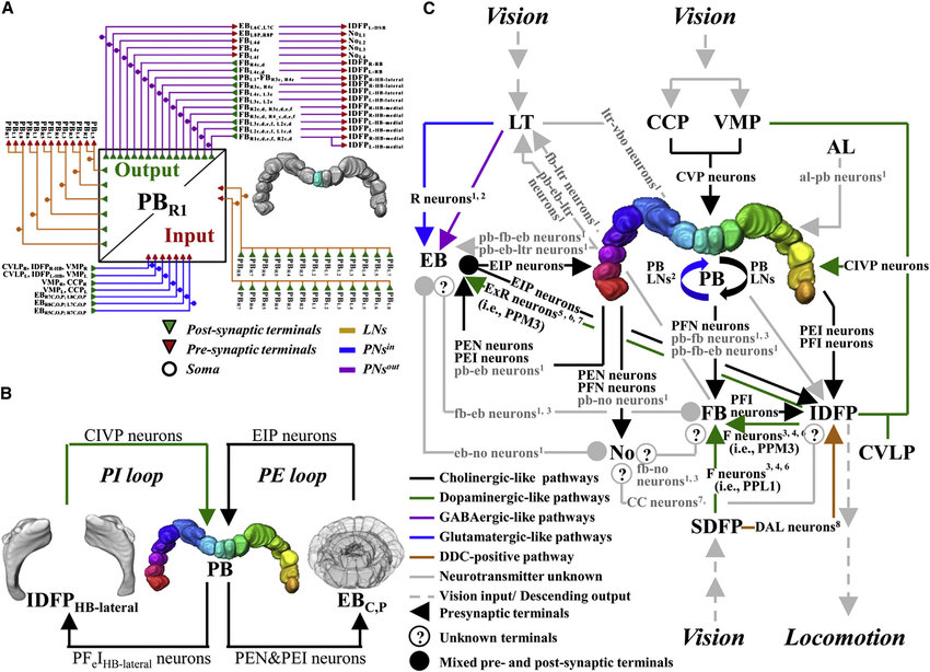 Wiring Diagram of PB Network (A) Generalized anatomy of a PB