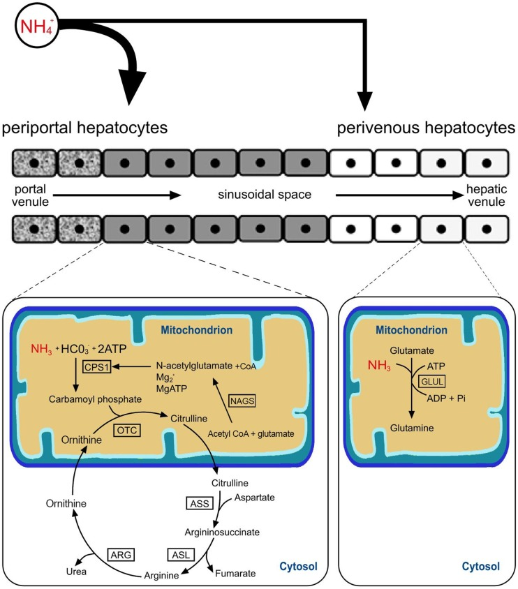In the urea cycle ammonia and bicarbonate form carbamoylphosphate - urea cycle