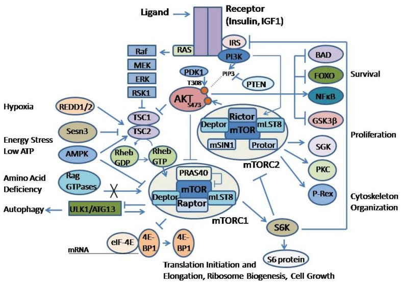Schematic diagram of the AKT/mTOR signaling pathway Insulin or